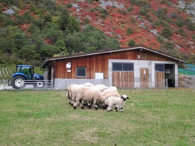 Schafe vor einem Stall.