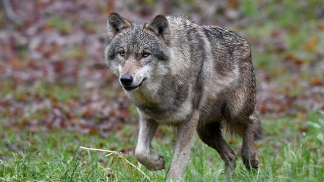 Wolf rennt