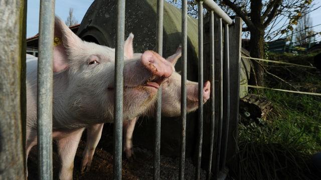 Zwei Schweine hinter einem Tor.