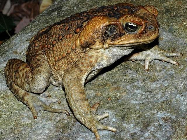 Aga-Kröte auf einem steinigen Untergrund.