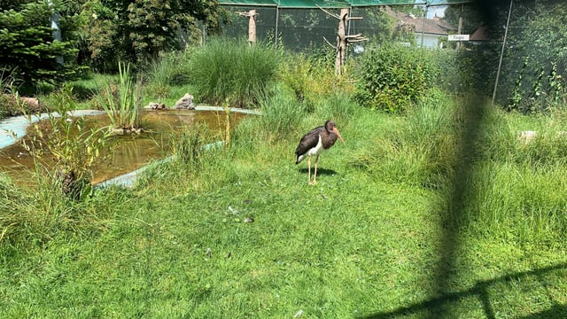 Schwarzer Storch steht auf Wiese in einem Gehege.