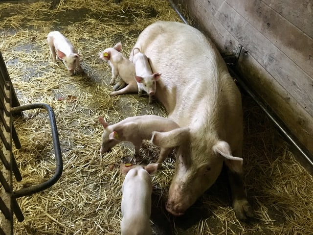 Eine Schweinemutter mit ihren Ferkeln.