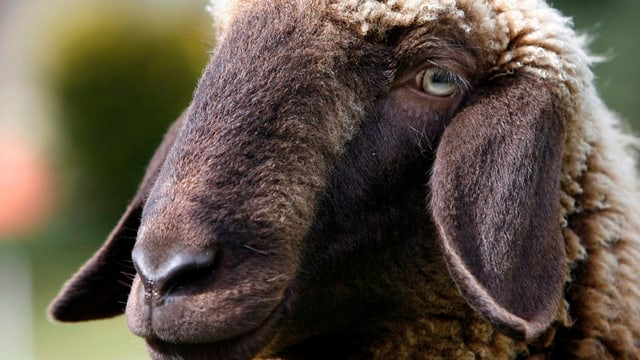 Bündner Schaf