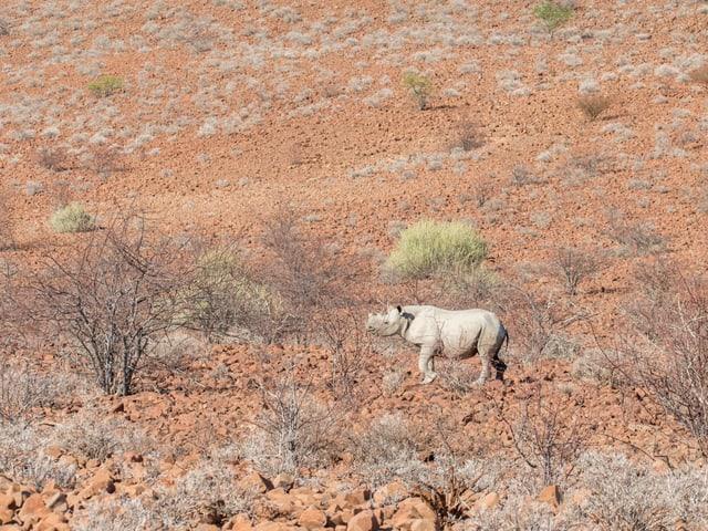 Das Spitzmaulnashorn als Symbol für den erfolgreichen Naturschutz im Land. Einst fast ausgestorben, sind die Tiere heute wieder auf dem Vormarsch.