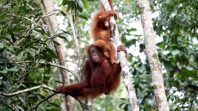 Orang-Utan-Weibchen mit Nachwuchs im Geäst
