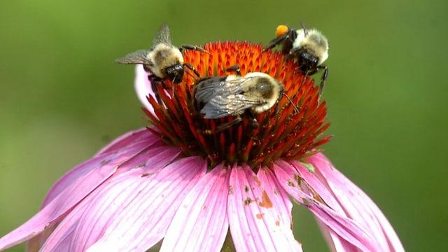 Bienen im US-Bundesstaat Washington.