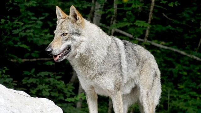 Der Wolf wird weiter beobachtet.