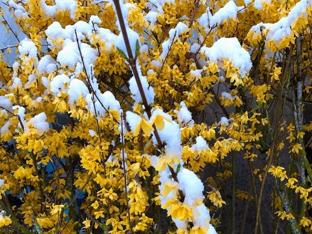 Schnee auf Osterstrauch.