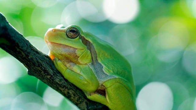 Ein grüner Frosch sitzt auf einem Ast.