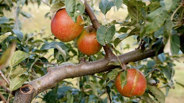 Apfelbaum mit reifen Früchten.