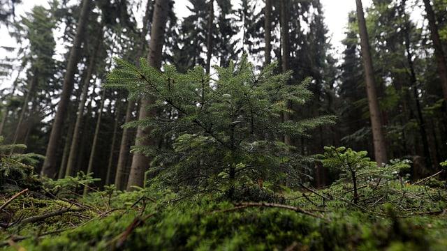 Fichte vor anderen Bäumen