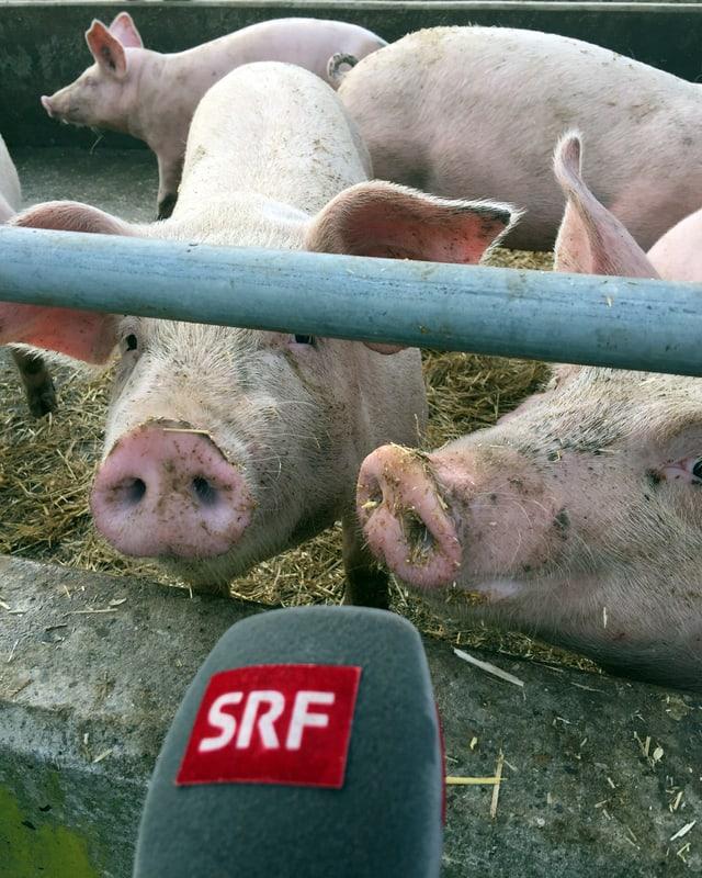 Schweine hinter Gatter, ein SRF-Mikrofon vor der Nase.