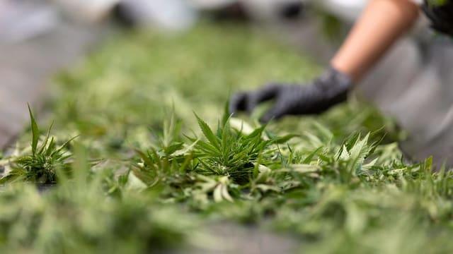 Cannabis che vegn raccoltà per setgentar.