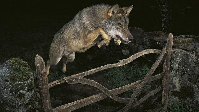 Ein Wolf springt über einen Holzzaun.