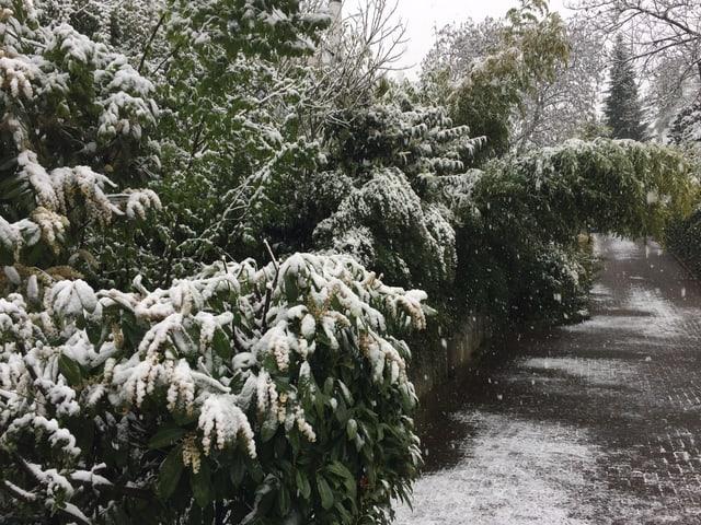 Schneeverdeckte Pflanzen hängen über das Trottoir