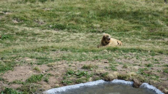 l'urs Napa or en il liber