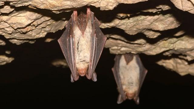Zwei Fledermäuse hängen in einer Höhle