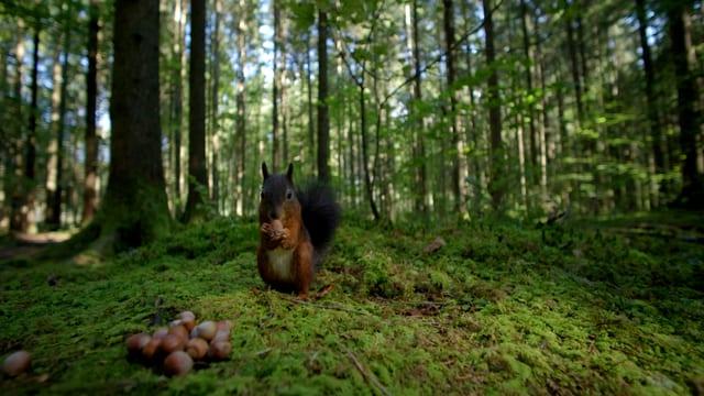 Video «Unsere Wälder: Ein Jahr unter Bäumen (2/3)» abspielen
