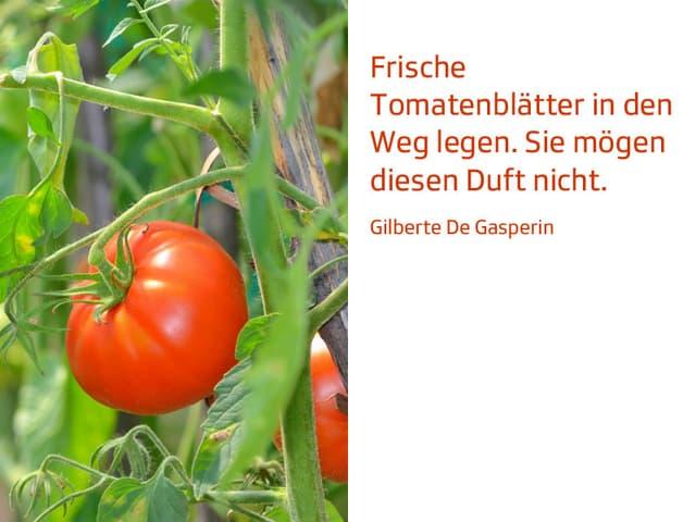 Tomatenstaude.