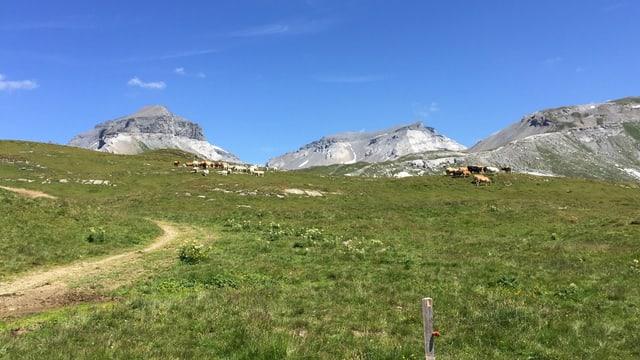 Alp mitb Kühen