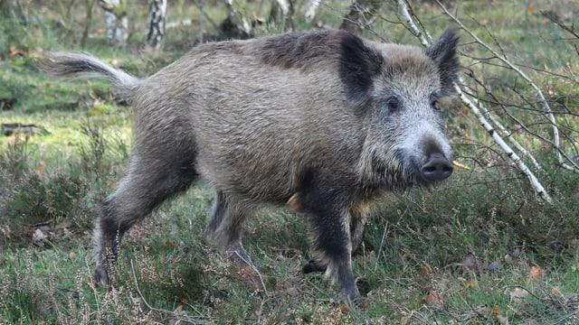 Ein Wildschwein.