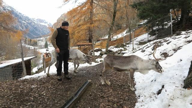 Züchter mit drei Rentieren im Schnee