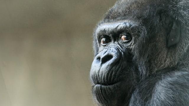 Der Kopf der Gorilla-Dame Goma in einer Nahaufnahme