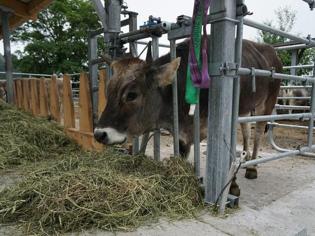 Kuh im Gatter