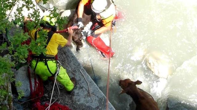 Zwei Rettungskräfte stehen im Wasser eines Bergbaches. Sie sind damit beschäftigt, ein Rind festzubinden. Ein weiteres Tier steht daneben.