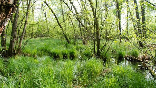 Ein lichter Wald mit Seggen und Wassertümpeln am Boden