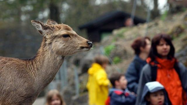 Reh und Besucherinnen im Tierpark Goldau