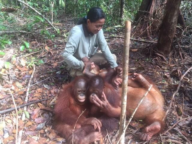 Orang-Utans beim spielen.