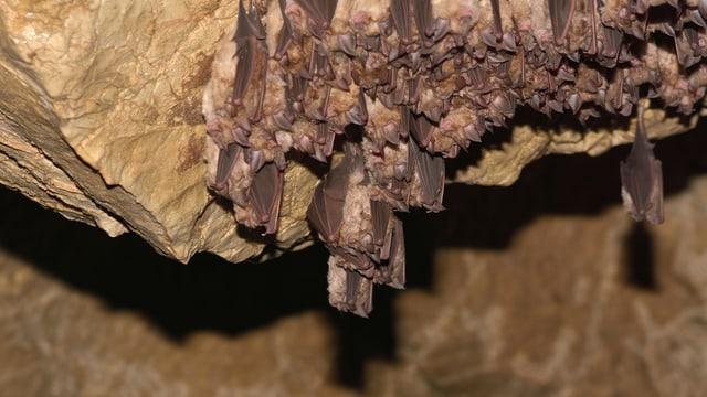 Fledermauskolonie hängt in einer Höhle