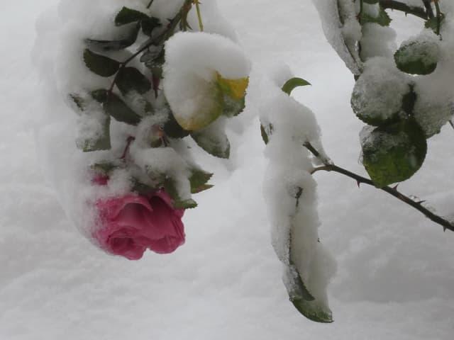 Eine rosarote Rose, bedeckt mit Schnee.