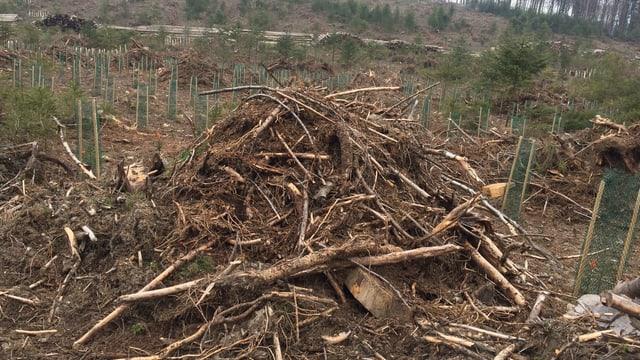 Ein Haufen von abgestorbenem Holz umgeben von Baumsetzlingen.