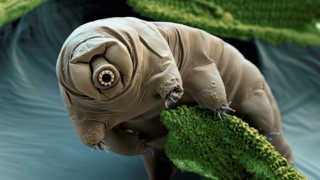 Dieses Tierchen wurde im Moos eines Kratersees in Kenia gefunden und mit Mikrofotografie rund 400fach vergrössert.