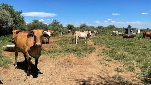Mehrere Kühe auf Wiese.