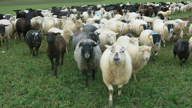 Die Schafe sind nur über  Mittag und nachts in einem Gehege, sondern wandern sie mit der Hirtin.
