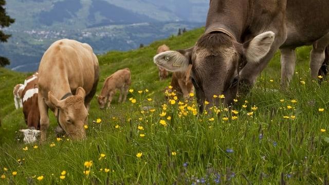 Kühe fressen Gras auf Wiese
