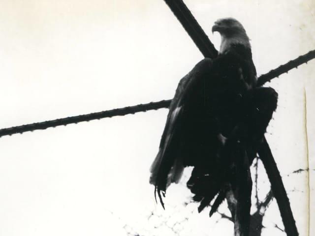 1962: «Willy Brandt», der von den USA geschenkte Weisskopfseeadler im Zoologischen Garten Berlin.