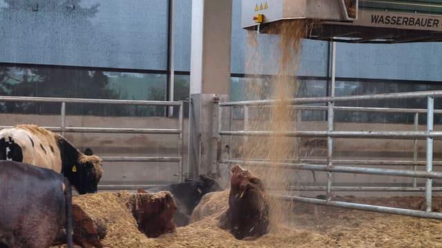 Kühe liegend auf dem Stallboden, darüber fährt ein kleiner Container aufgehängt an Schienen am Dach. Er wirft frisches Stroh ab und auf die Kühe.
