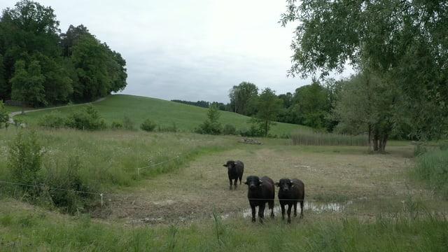 Wasserbüffel auf der Ökofläche