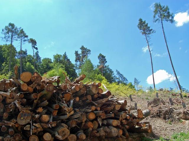 Grosser Holzhaufen vor kahlem Waldstück
