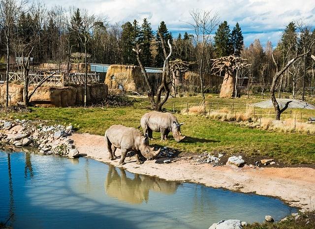 Zwei Breitmaulnashörner weiden am Wasserloch in der neu eröffneten Lewa Savanne des Zoo Zürich.