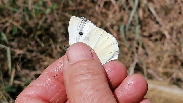 Schmetterling in Hand