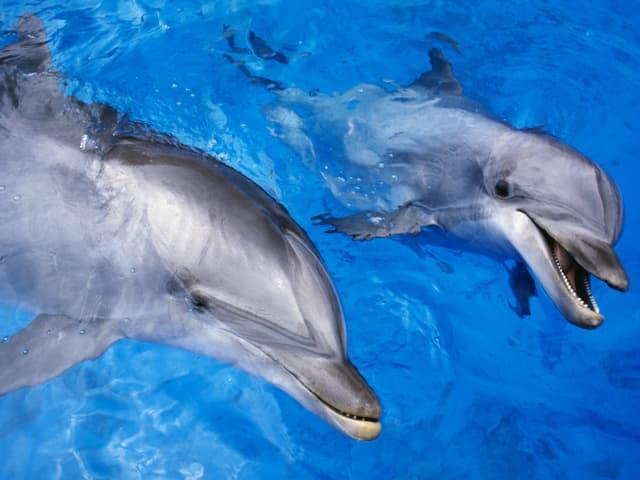 Zwei Delfine im Wasser