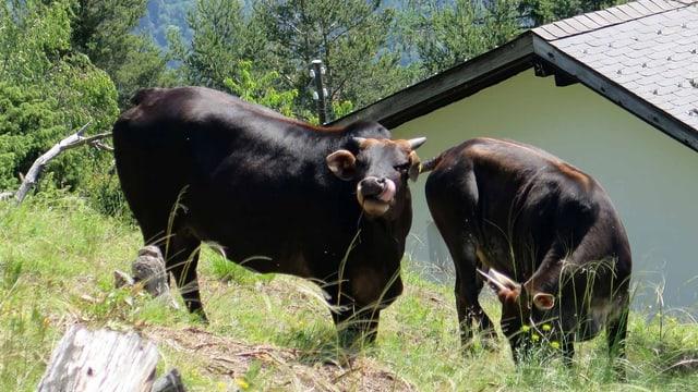 Zwei schwarze Rinder im Berghang