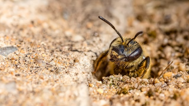Eine Sandbiene kriecht aus ihrer Höhle