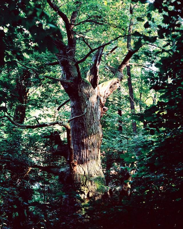 Grosser Baum in schattigem Wald