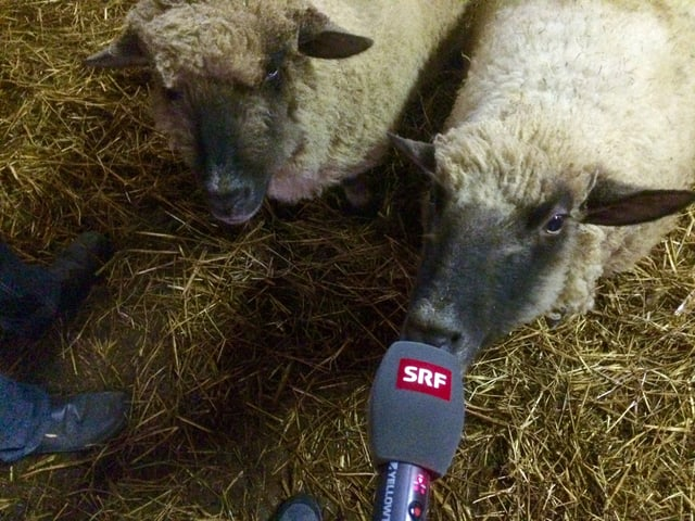 Zwei englische Shropshire-Schafe, eines knabbert am SRF-Mikrofon.
